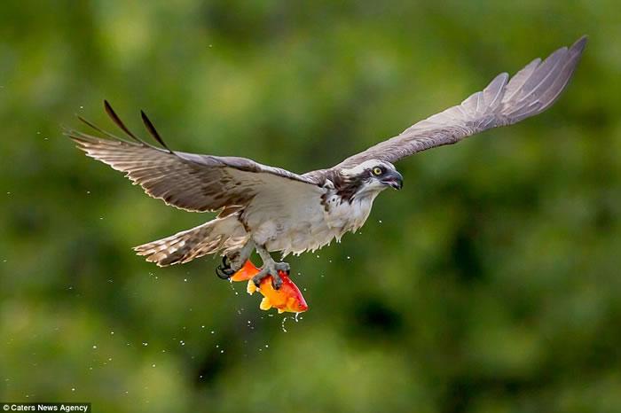 加拿大摄影师在池塘旁用镜头捕捉到鱼鹰优雅擒获金鱼的场景