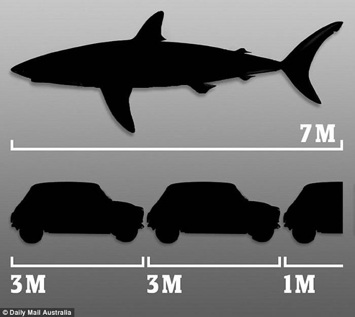 澳大利亚南部沿海发现7米长大白鲨