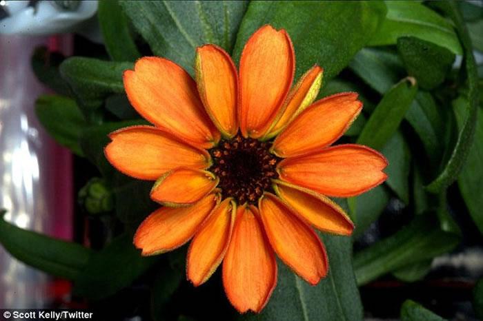 国际空间站成功种出太空中第一种开花植物——百日菊