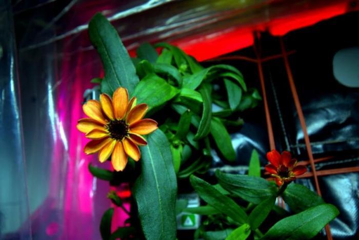 国际空间站种出第一朵太空花——百日菊