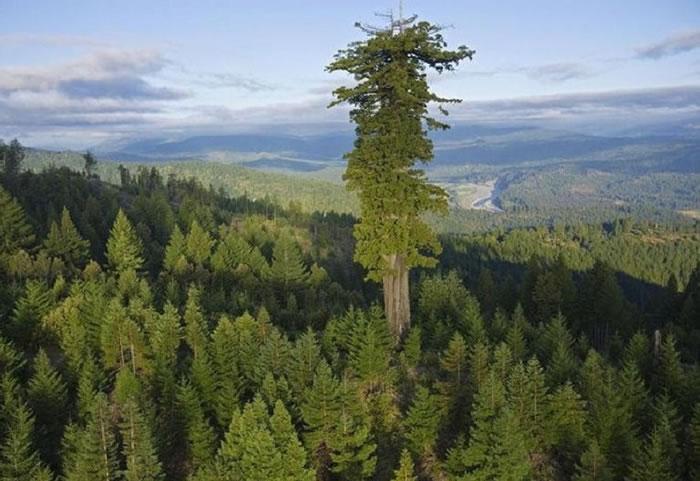 """美国红杉树国家公园发现三棵比""""同温层巨人""""更高的树——亥伯龙树(Hyperion)"""