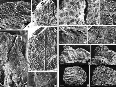 中生代双扇蕨科植物研究取得两项新成果
