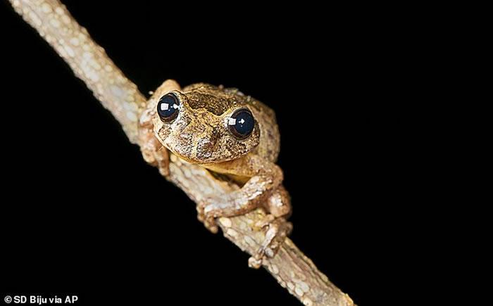 印度发现奇特新品种树蛙Frankixalus,孵化蝌蚪以未受精卵为食