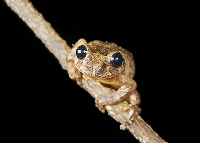 树蛙长成后体形可达高尔夫球的大小