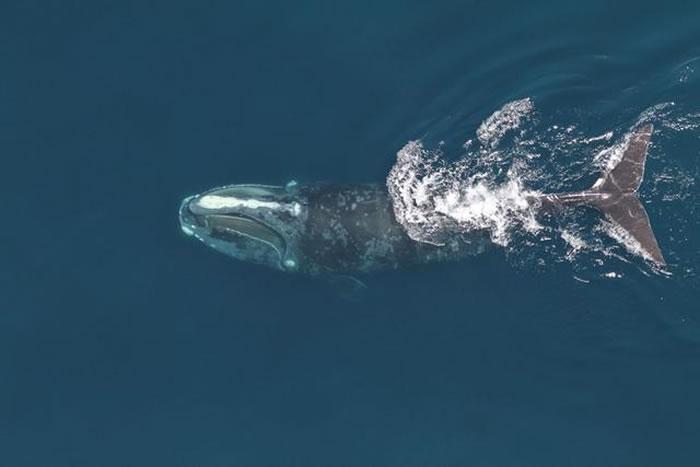 科学家要开发能从面部照片识别任何一条存活的北大西洋露脊鲸身份的算法