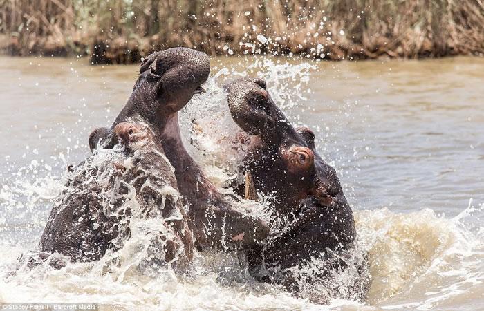 南非伊西曼格利索湿地公园老河马和年轻河马为争夺领地激战