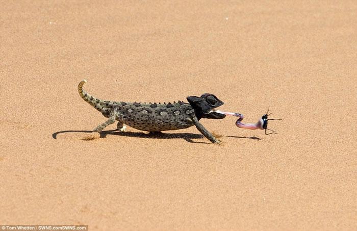 纳米比亚沙漠纳马夸变色龙从后方捕食毫无防备的甲虫
