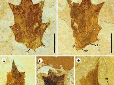 云南文山盆地中新世地层中发现保存完好的十大功劳属小叶化石新种:东亚十大功劳