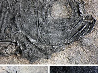 云南发现两亿四千万年前一种新的基干新鳍鱼类:多饰维纳斯鱼