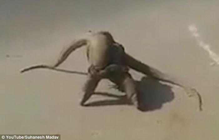 精彩:两头美洲鬣蜥在车来车往街头扭打