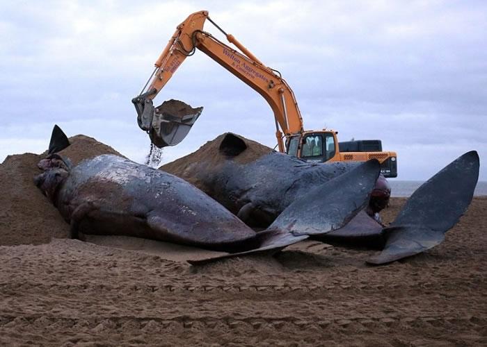 当局先以沙泥将鲸尸封住,防止被海浪冲走。