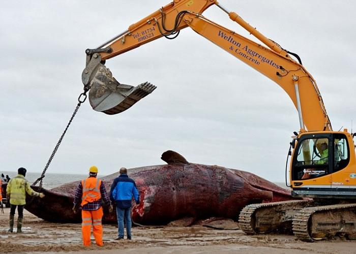 当局稍后将鲸尸运往堆填区长埋。