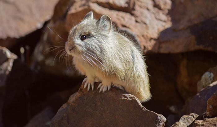 低海拔鼠兔可能无法应付高海拔地区的低氧环境