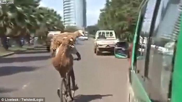 两只山羊缠住单车男坐顺风车