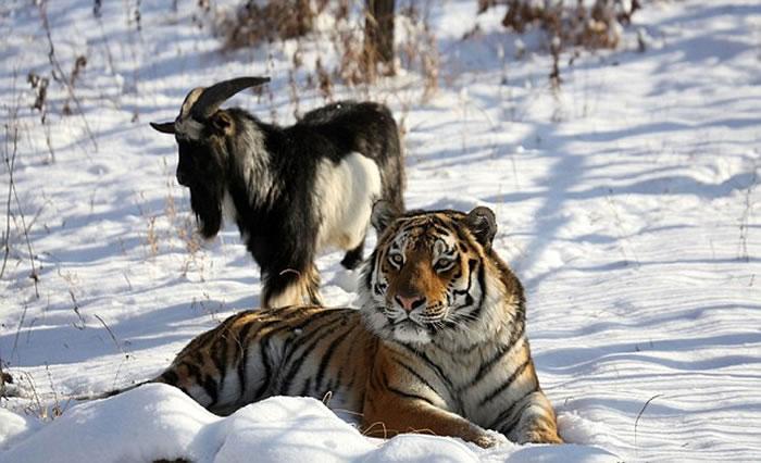 俄罗斯海参威动物园成为好朋友的东北虎和山羊被分开了