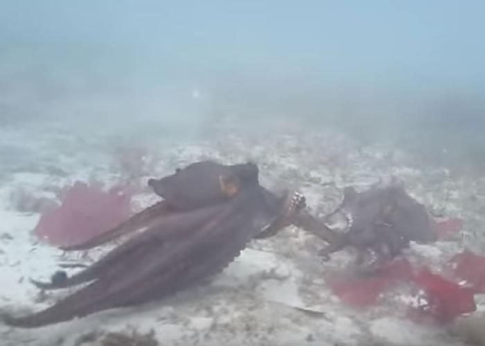 出现争端时,八爪鱼的颜色会变深。