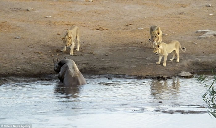 南非埃托沙国家公园怀孕犀牛受困水坑 奋力抗击3只狮子逃生