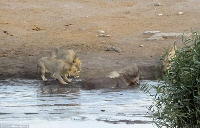 南非埃托沙国家公园怀孕犀牛受困水坑,奋力抗击3只狮子逃生
