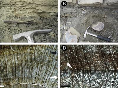 新疆准噶尔盆地发现晚三叠世诺利期裸子植物化石木材——准噶尔异木