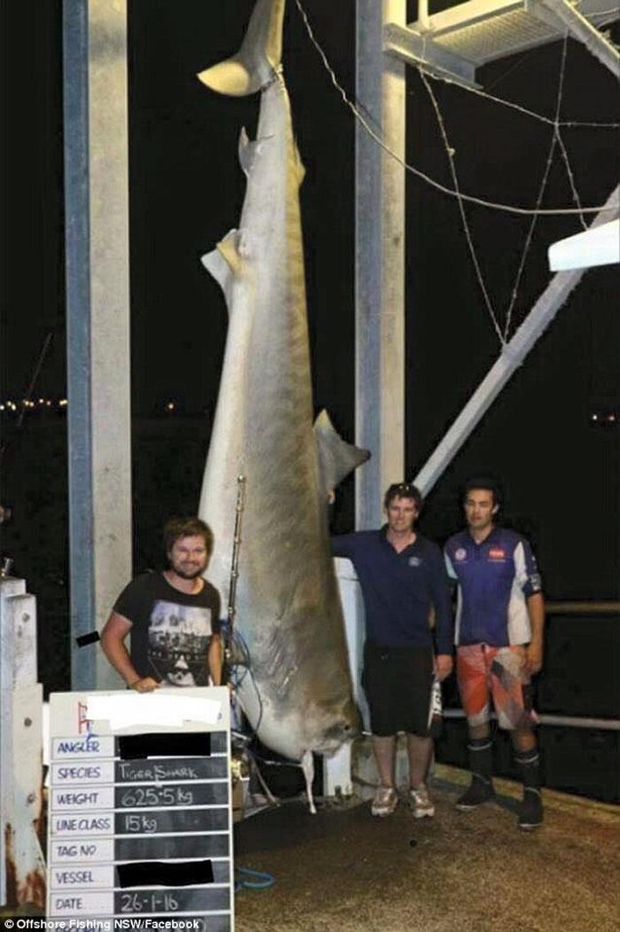 澳大利亚渔民捕获已知世界最大虎鲨 遭网友谴责