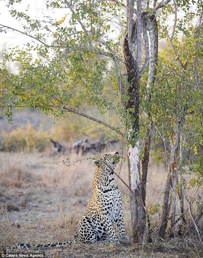 南非克鲁格国家公园饥饿花豹拉扯树上巨蟒尸体