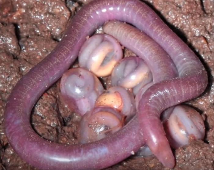 """印度发现两栖类新物种 被称为""""恶魔的生物"""""""
