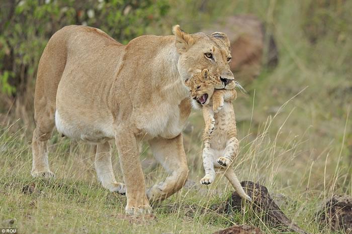 肯尼亚马赛马拉国家公园顽皮幼狮被母狮叼走一脸不爽