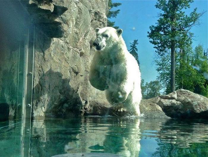 世界上唯一专门保护北极熊的地方——加幽客社 日本漫画拿