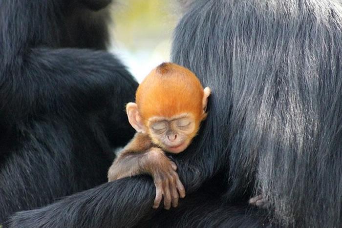 全球剩下2千只:澳洲悉尼塔朗加动物园的黑叶猴