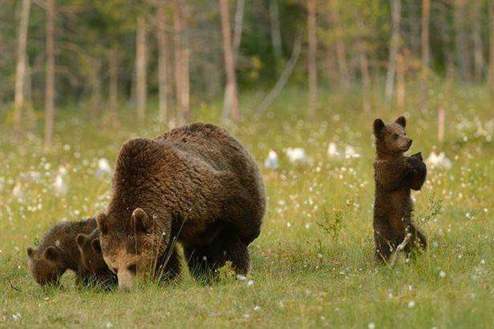"""荷兰摄影师在芬兰捕捉到小棕熊""""打太极""""画面"""