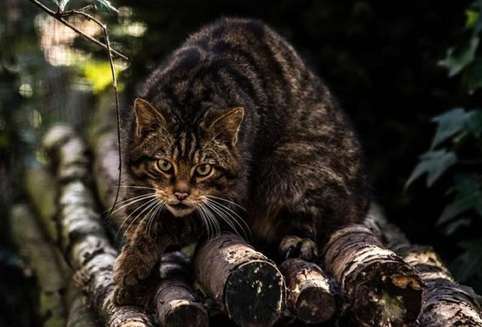 """古老猫科动物""""苏格兰野猫""""全世界剩下不到35只"""