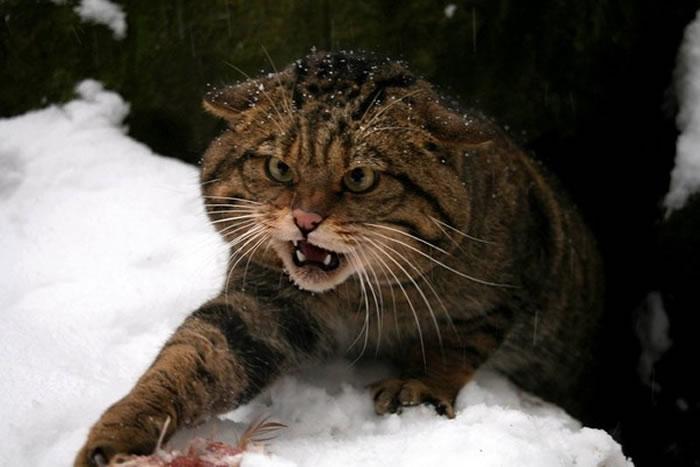 苏格兰野猫跟狮子老虎一样是完全野生的物种,没有办法驯服。