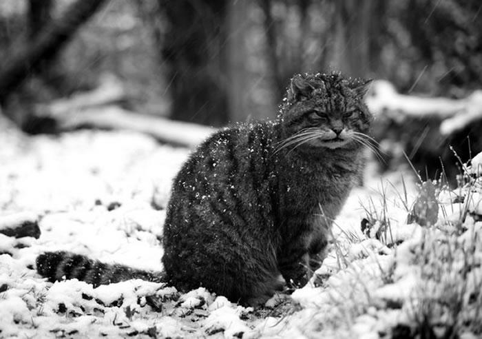 苏格兰野猫(或是欧洲野猫)体型比一般家猫大,尾巴蓬松。