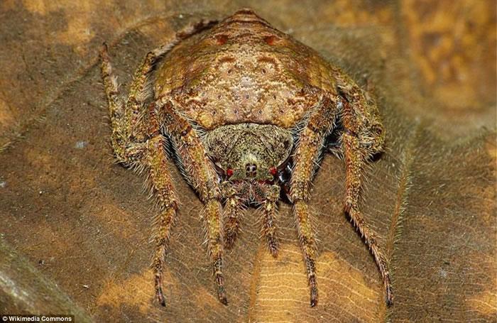 澳大利亚雨林保护区珍稀蜘蛛的高超伪装