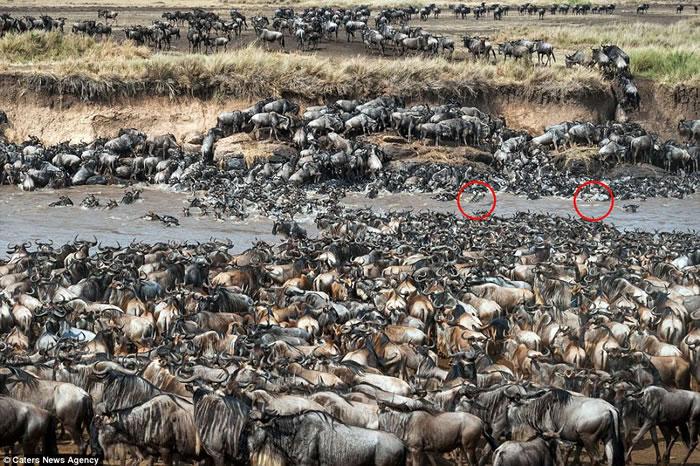 肯尼亚马赛马拉8万牛羚大迁徙 两斑马误闯入群你能不能找到?