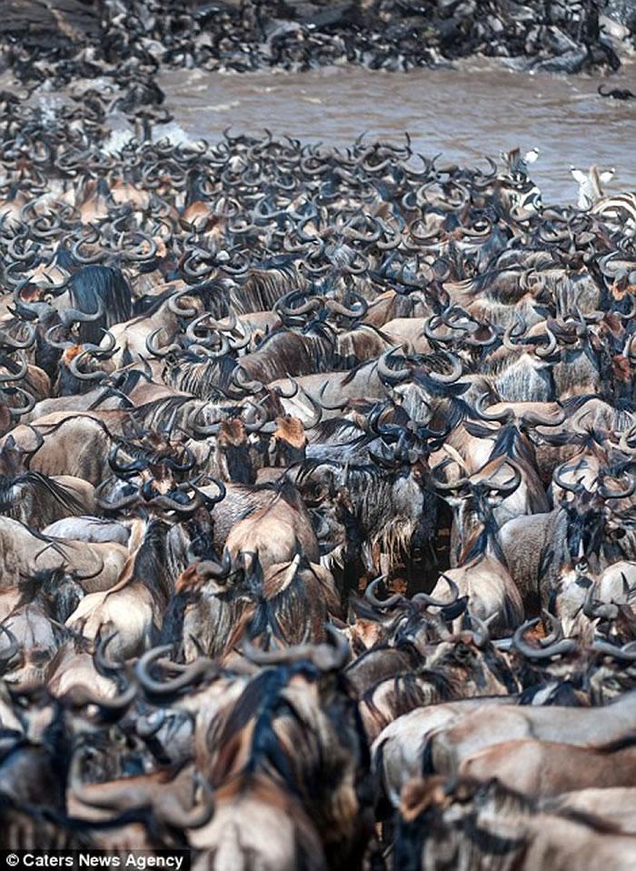 肯尼亚马赛马拉8万牛羚大迁徙