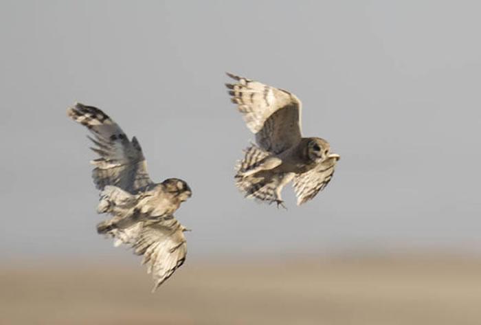 南非猫头鹰紧贴飞翔 重演《泰坦尼克号》经典