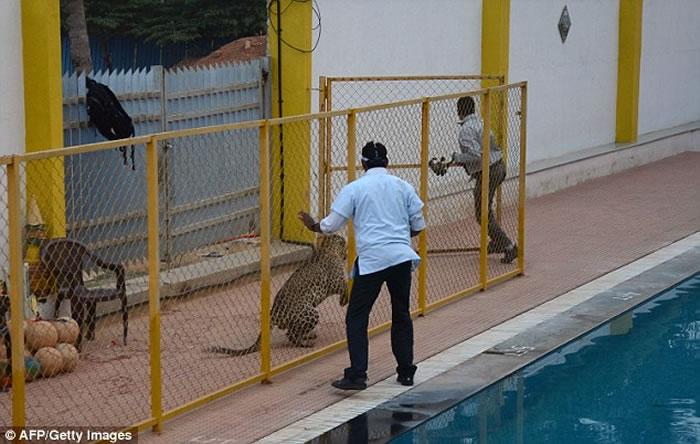 伤6人被围捕14小时抓获的印度花豹