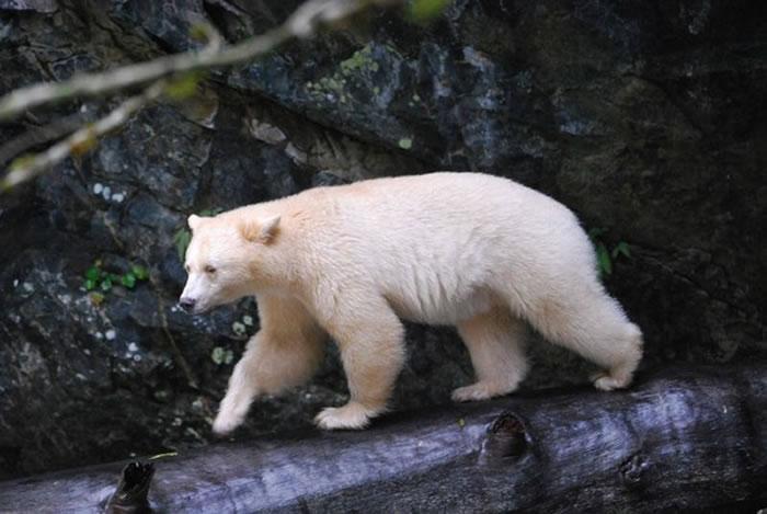 柯莫德熊拥有洁白的毛色,其实是黑熊的亚种。