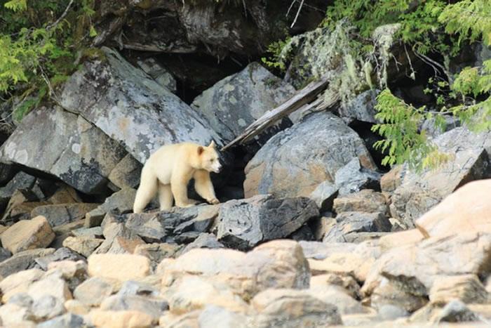 柯莫德熊洁白身影像是奇幻的影子,在自然界中如此大型的纯白动物非常少见。