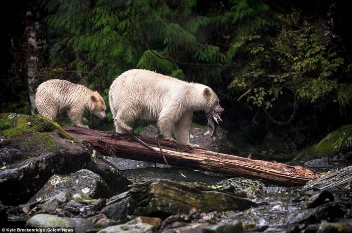 目前全世界只在大熊雨林发现发现它们的踪迹,大约不到400只,当地的原住民把它们视为「圣兽」。