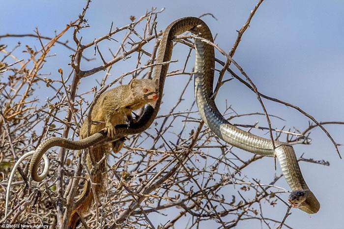 纳米比亚致命非洲树蛇树上觅食反被猫鼬捕杀