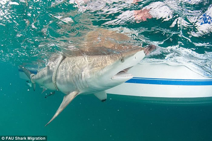 美国佛罗里达海岸上千头鲨鱼聚集
