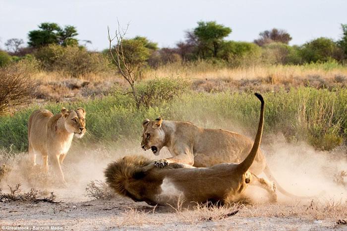 """非洲博茨瓦纳母狮暴揍公狮吓跑""""小三"""""""