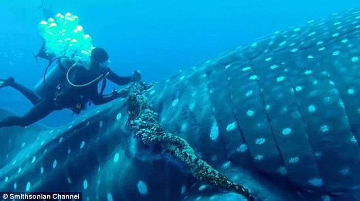 潜水员在墨西哥索科罗群岛海底帮鲸鲨去除缠绕在身体的钓鱼绳