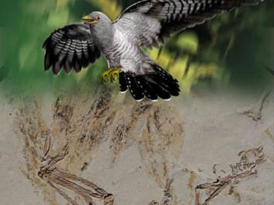 """热河生物群发现具有空气动力学扇状尾羽的反鸟类――鹏鸟科新属种""""契氏鸟巨前颌种"""""""