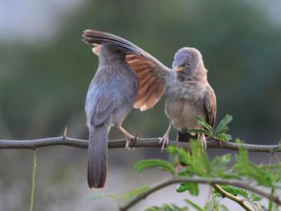 """""""不要烦!""""印度丛林鸫鹛翅膀拍打同伴"""