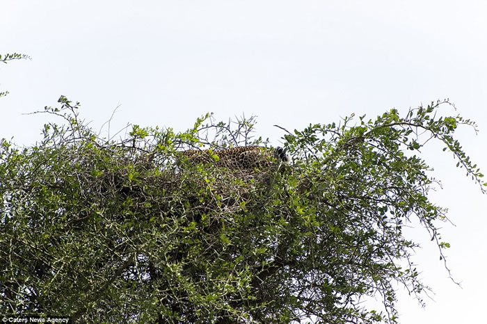 你能找到坦桑尼亚大树上隐藏的花豹吗?