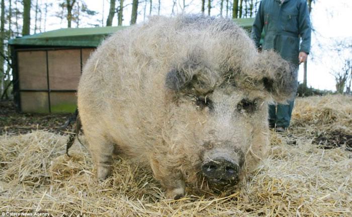 欧洲披着羊皮的猪:生长于匈牙利的曼加利察猪(Mangalitsa pig)