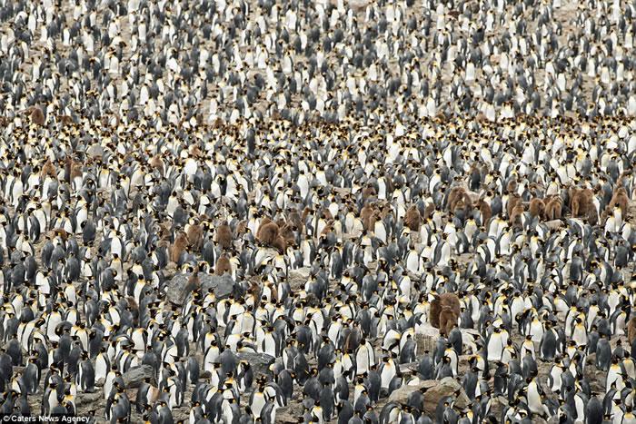 大西洋南部南乔治亚岛壮观的国王企鹅大军